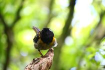 Male Hihi Stitchbird at the Zealandia Sanctuary in Wellington NZ   x