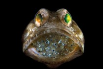 Male jawfish mouthbrooding eggs until they hatch