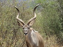 Male Kudu Kruger South Africa Photo credit to Deirdre Boys
