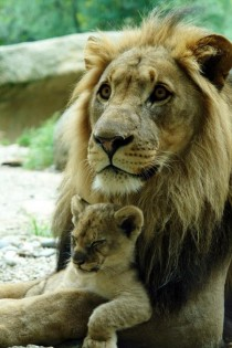 Male Lion and his cub