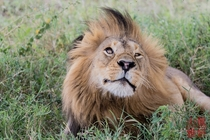 Male Lion - Caught in the moment Northern Serengeti Tanzania