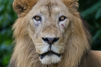 Male Lion - Intense Stare
