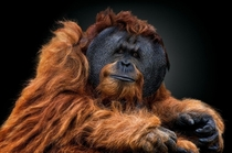 Male Orangutan by PEDRO JARQUE KREBS