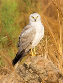 Male Pallid Harrier from Mumbai India
