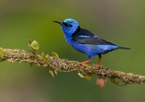 Male red-legged honeycreeper Cyanerpes cyaneus Costa Rica   Tim Zurowski