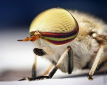 Male Striped Horse Fly Tabanus lineola