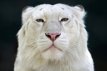 Male White Tiger - Intense Stare