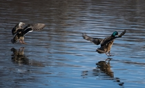 Mallards coming in for a landing