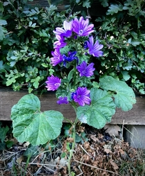 Malva sylvestris is leaping out at me wherever I go This was outside Arsenals training ground - hope the players appreciate it