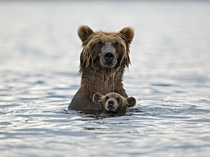 Mama and baby grizzly bear go for a swim in Kurile Lake in Russia photo by by Marco Mattiussi
