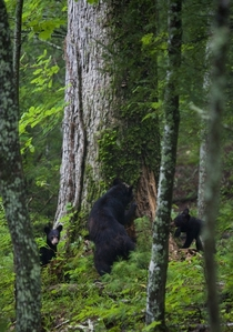 Mama bear teaching two cubs how to look for a snack Ursus americanas Great Smoky Mountains National Park