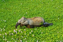 Mama elephant and her calf snacking on water lilies in India