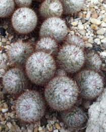 Mammillaria bombycina picture from New York botanical garden Unfortunately not from its native Mexico