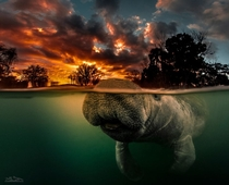 Manatee Trichechus manatus at Three Sisters Springs in Florida taken by Jeff Stamer