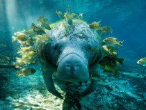 Manatee with fish Trichechus x