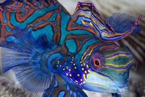 Mandarin Fish by Klaus Stiefel