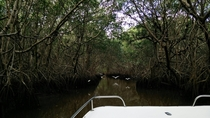 Mangrove Forest Everglades