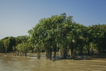 Mangrove forests Tonle Sap river Cambodia