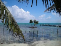 Mangroves rising from the Caribbean Sea Caye Caulker Belize
