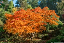 Maple tree at Butchart Gardens