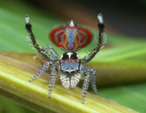 Maratus elephans- newly discribed peacock spider named for the elephant face on its abdomen Credit for this photo goes to Australian peacock spider enthusiast Dr Jrgen Otto