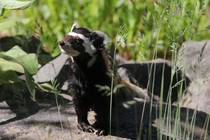 Marbled Polecat basking in the sun Vormela peregusna -