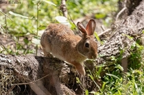 March Hare - Swamp Rabbit