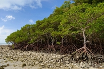 March of the mangrove Ents Cape Tribulation Far North Queensland x
