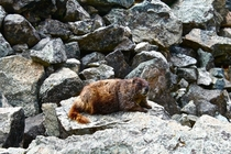 Marmot Marmota flaviventris on Blanca Peak CO