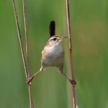 Marsh Wren in Quebec Canada
