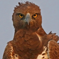 Martial Eagle Looks pised off