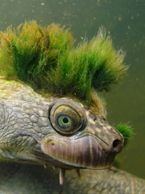 Mary River turtle Elusor macrurus with a punk hairstyle