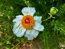 Matilija Poppy Romneya coulteri last summer in Southern California It looks like a big sunny side up egg It is a California native and was once nominated to be the State Flower but lost out to the California Poppy  x