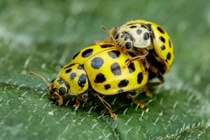 Mating Asian Beetles III