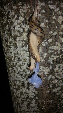 Mating Banana Slugs in my front yard - Ariolimax Columbianus