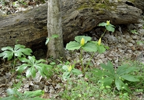 Mayapple and Yellow Trillium in the Cherokee National Forest