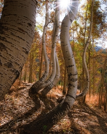 Maybe the most bizarre Aspen trees Ive seen in Colorado  by instagram danielbenjaminphoto