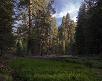 Meadow in a sequoia grove