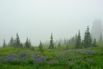Meadows with flowers on a foggy day in Paradise Mount Rainier National Park Washington  photo by Julien Bo