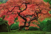 Medusa - Japanese Maple in full Autumn Color Oregon  maxfosterphotography