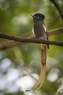 Meet the stunning African paradise flycatcher The male grows the long double tail plumage during breeding season Taken in northern Kruger National Park