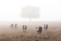 Meeting some bovine buddies in early morning fog
