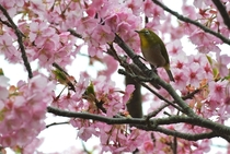 Mejiro or Japanese white-eye Zosterops japonicus enjoying the Kawazu variety of cherry blossoms
