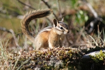 Met this little guy on a hike through the Tetons last year Chipmunk Tamias