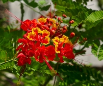 Mexican Bird of Paradise  Caesalpinia pulcherrima  - From Leu Gardens Orlando Florida