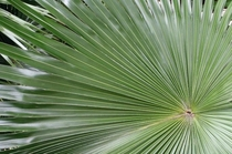 Mexican fan palm Washingtonia robusta