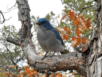 Mexican Jay Aphelocoma wollweberi hoping you have peanuts to share