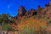 Mexican poppy in Queen Canyon Kofa National Wildlife Refuge Yuma AZ
