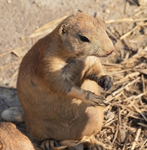 Mexican prairie dog Cynomys mexicanus