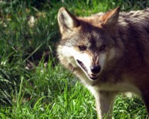 Mexican Wolf Canis lupus baileyi